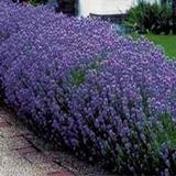Lavender, Dwarf Munstead (Lavender Angustifolia 'Munstead')