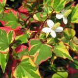 Chameleon Plant (Houttuynia cordata)