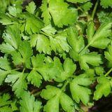 Parsley, Flat Leaf (Petroselinium crispum neapolitanum)