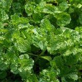 Mint, Curly (Mentha spicata crispa)