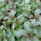 Mint, Basil (Mentha x piperita citrata 'Basil')