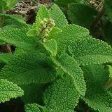Wood Sage (Teucrium scorodonia)