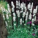 Lavender, White (Lavendula angustifolia 'Alba')