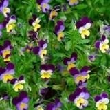 Heartsease (Viola tricolour)