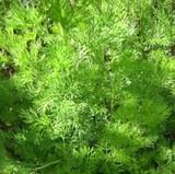 Southernwood (Artemesia abrotanum)