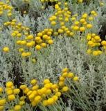 Cotton Lavender. ( Santolina chamaecyparissus)