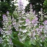 Sage, Clary (Salvia Sclarea)