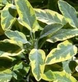 Sage, Golden (S.O. Icterina)