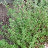 Thyme, Common (Thymus vulgaris)