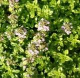 Thyme, Golden (Thymus vulgaris aureus)