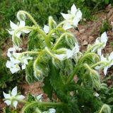Borage, White (Borago officinalis 'Alba')