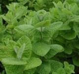 Mint - Applemint (Mentha sauveolens)
